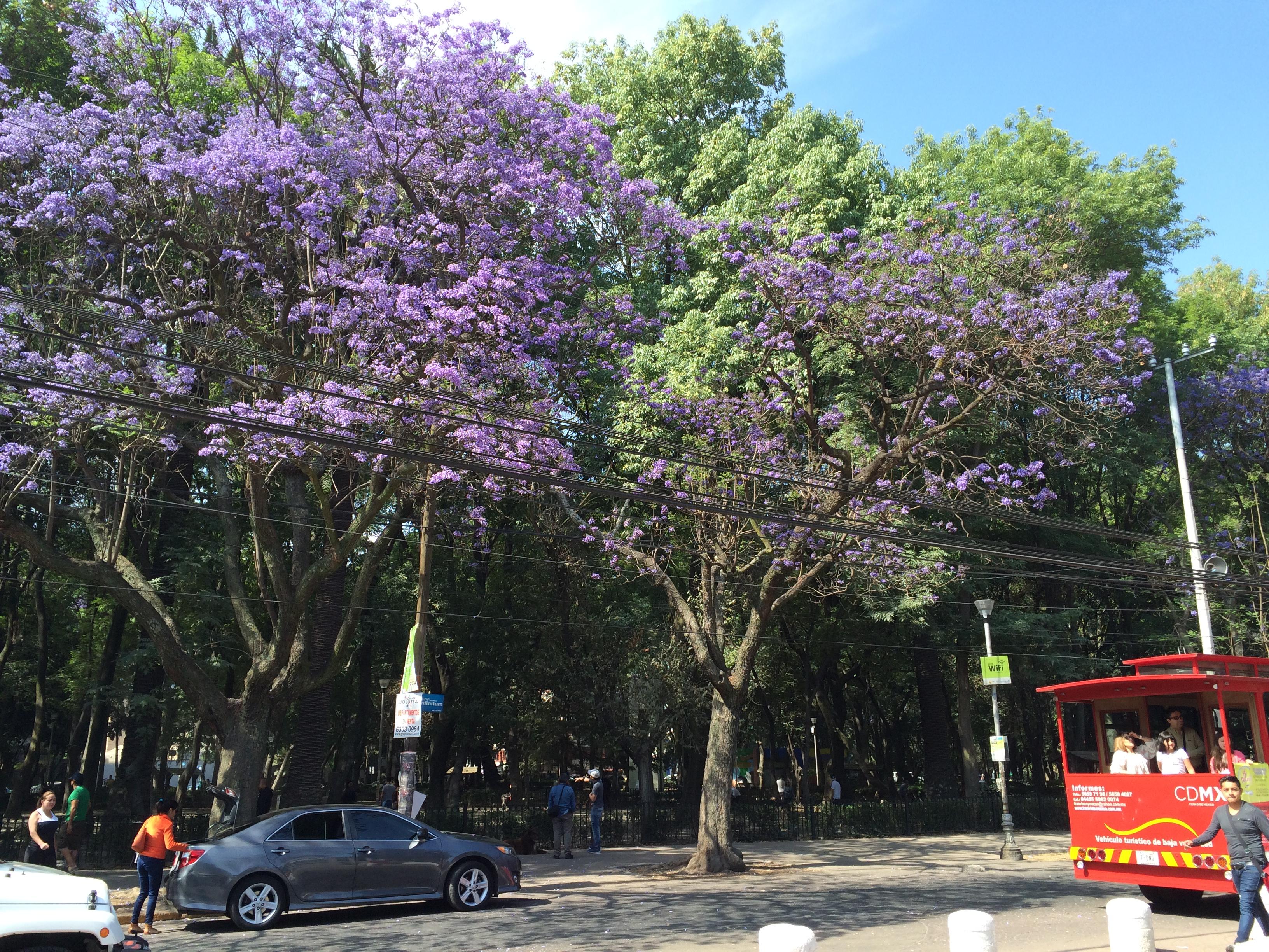 Jacaranda Trees - Parque Mexico